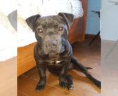 Cucciolo di Pit Bull scappato da via Di Carlo zona Piana Reatina. Chi l'ha visto?