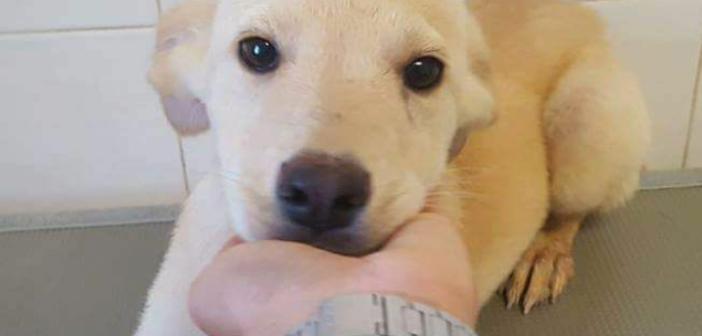 Cagnolino color panna cerca adozione