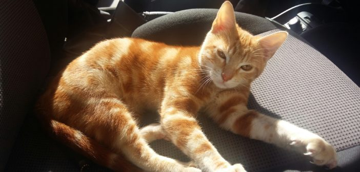 Trovato gattino rosso in un condominio di via A.M. Ricci