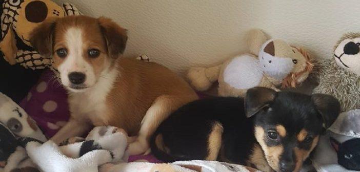 Due cuccioli di Rieti attendono un'adozione. Futura taglia medio piccola