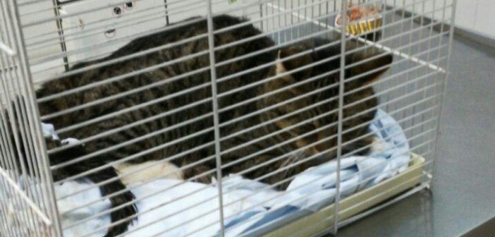 Raccolta fondi per il gattino operato dopo l'investimento in via Salaria per L'Aquila