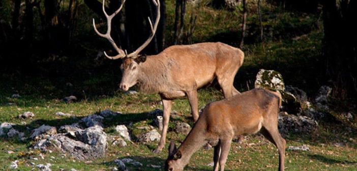 Bolzano, approvato l'abbattimento dei cervi dello Stelvio. LNDC pensa ad un ricorso