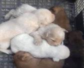 Cuccioli trovati in una scatola in campagna, urgono stalli e adozioni