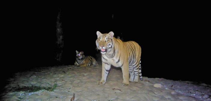 Malesia, cresce la popolazione di tigri. Anche grazie a Leonardo Di Caprio e WWF