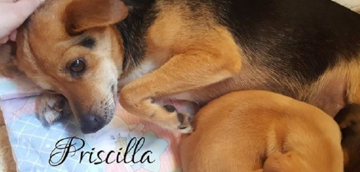 Priscilla, simil Pincher, è stata trovata abbandonata insieme ai suoi cucciolini. Si trova a Rieti