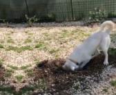 VIDEO – La nostra bellissima amica Summer ama il giardinaggio. Guardate un po'! Cerca adozione
