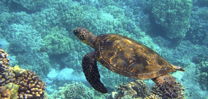 Tartarughe Marine, in Sicilia sono già dieci i nidi monitorati dal WWF