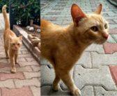 Gatto rosso a Campoloniano, qualcuno lo ha perso?