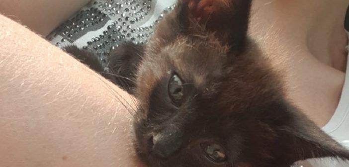 Salvato sulla Salaria per Roma. Gattino nero in cerca di famiglia