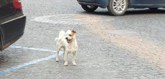 Vaga impaurito nella piazza centrale di Poggio Mirteto